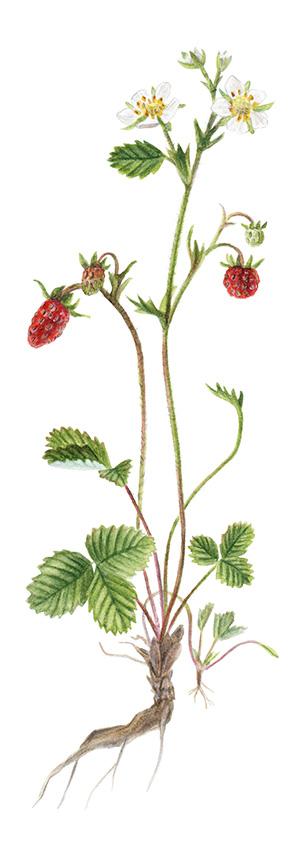 Wald-Erdbeeren (Fragaria vesca)