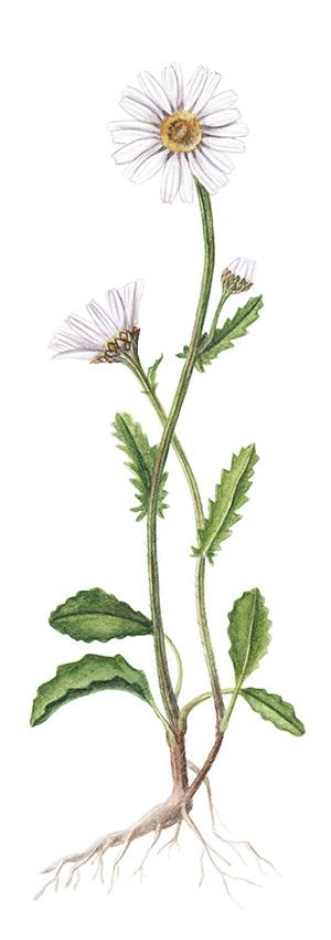 Magerwiesen-Margerite (Leucanthemum vulgare)