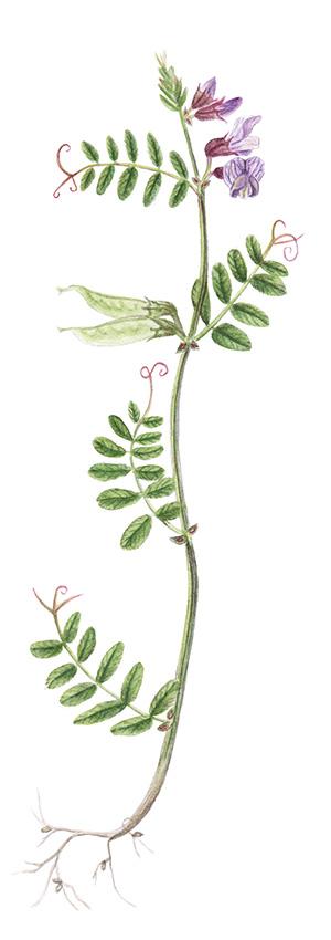 Zaun-Wickel (Vicia sepium)